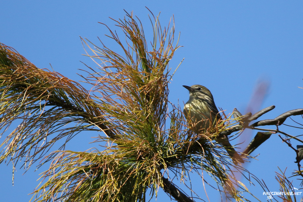 Pine Warbler - there are usually a few here, and for whatever reason, none came close enough for a decent photo.