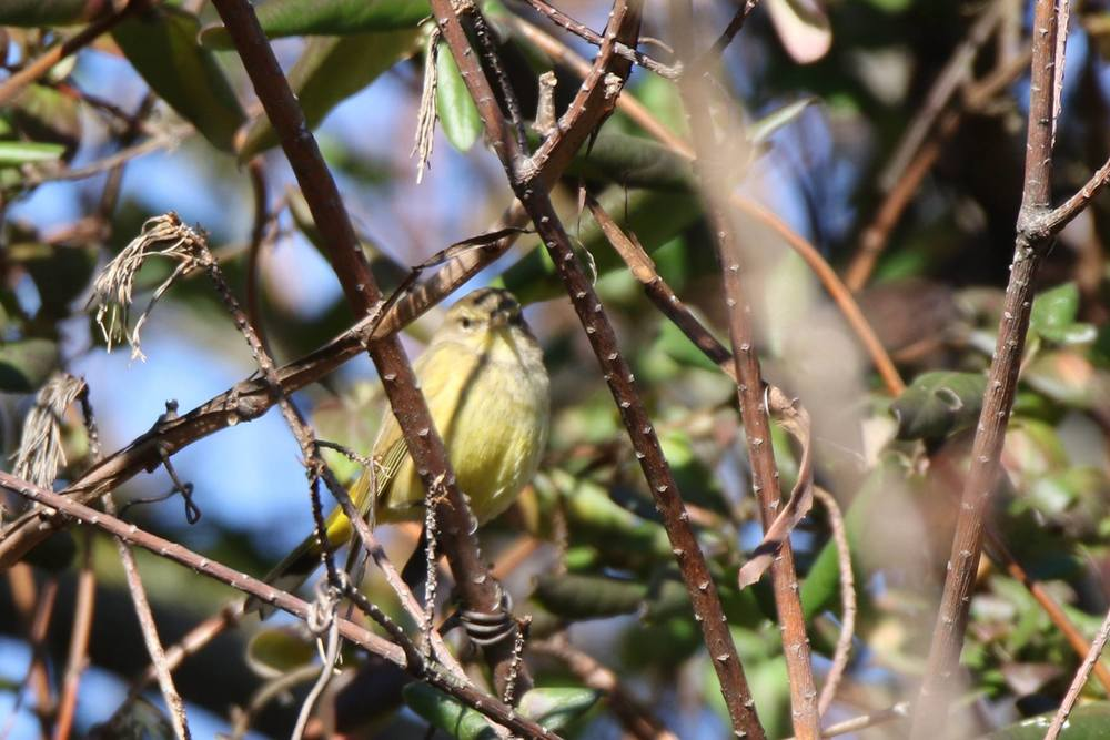 Palm Warbler - I saw two different palms, but none came out for a decent photo.