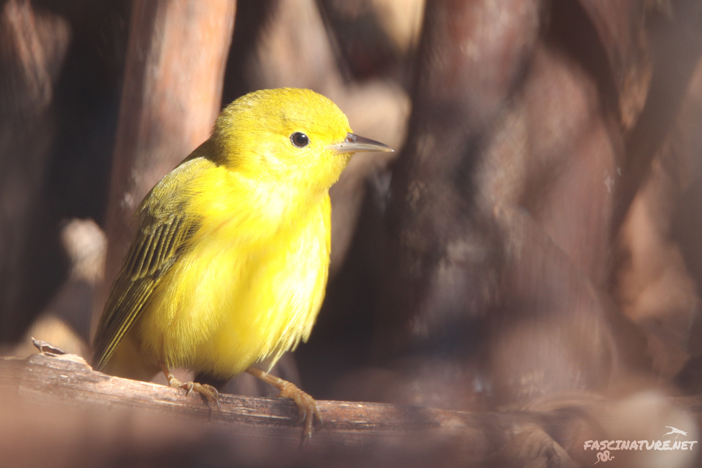 Yellow Warbler - this was a huge surprise!  It skulked in and out of the chain link fence.