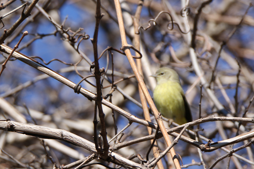 Orange-crowned Warbler - in my defense, he literally sat there for 1.5 seconds and I just missed the focus and hit the twig in front of him.  *I will try again.  I waited two hours, and he didn't come back out.  I played a chip note to get him out in the first place and didn't want to overdo it.