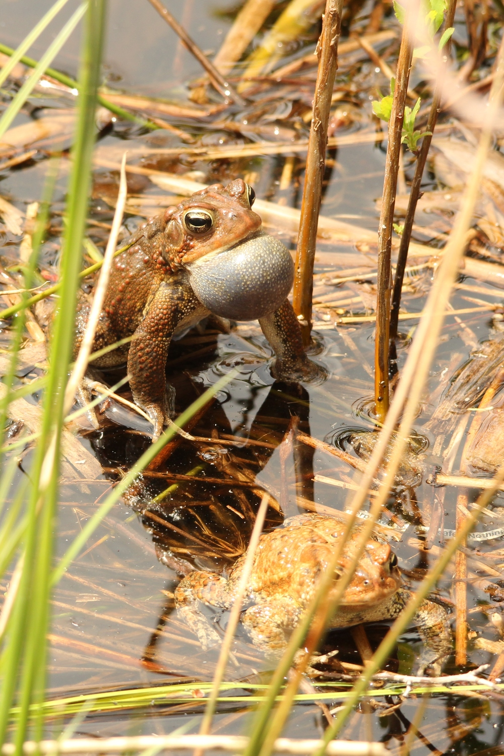 American Toad - one of my favorite Springtime activities is watching toads chase each other around in full daylight.