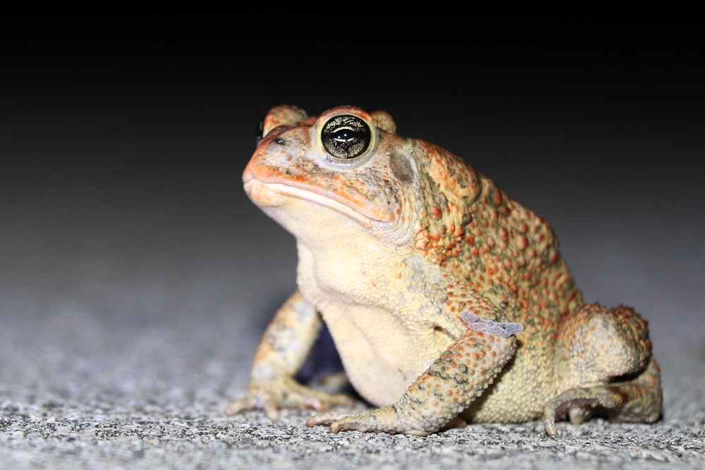 Southern Toad - I roadcruised a bunch of these guys in South Florida during my August trip.