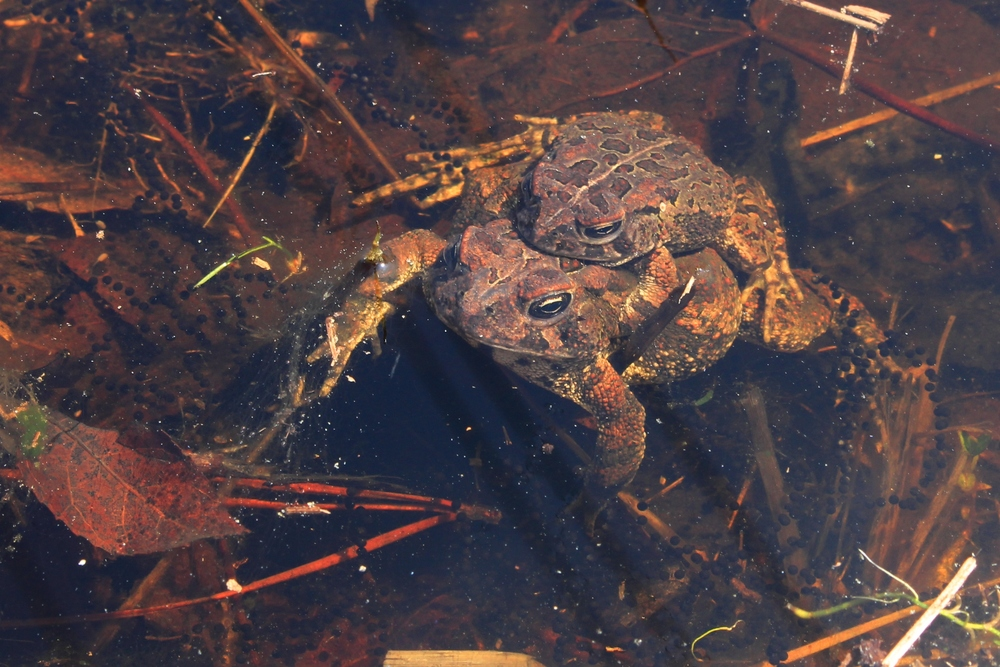 Fowler's Toads - I do see these guys in PA, but mainly NJ and South. These two were seen in amplexus among fresh egg strands.