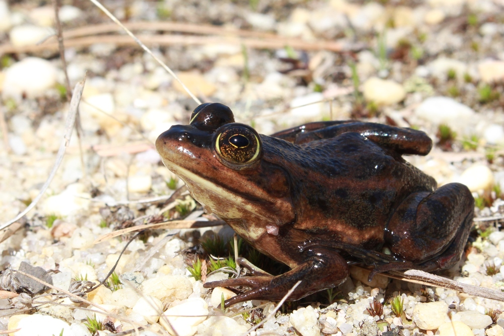 Carpenter Frog - I only see these in the Pine Barrens.  They are a neat Sourthern-affinity species that reaches the Northern extent of its range in Southern NJ.