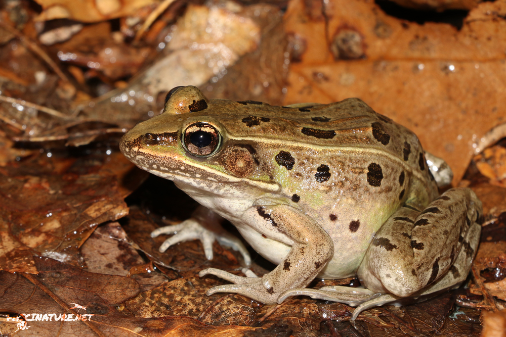 Atlantic Coast Leopard Frog - This is a newly described species. I have been fortunate enough to find some in PA and Northern NJ, however this particular individual was found among many on wet roads in Delaware.