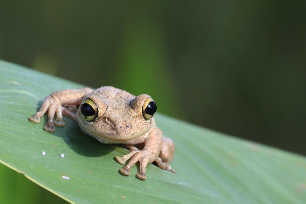 Cuban Treefrog - It's a shame to be out in the middle of the Everglades, yet find these with ease. These are an invasive that out-competes many of the natives and are here to stay. Regardless, they are damn cute.