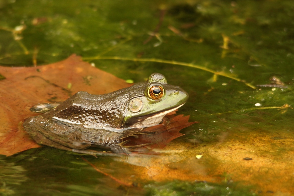 American Bullfrog - These guys can be massive. Their size is impressive and they will eat whatever they can fit in their mouth.