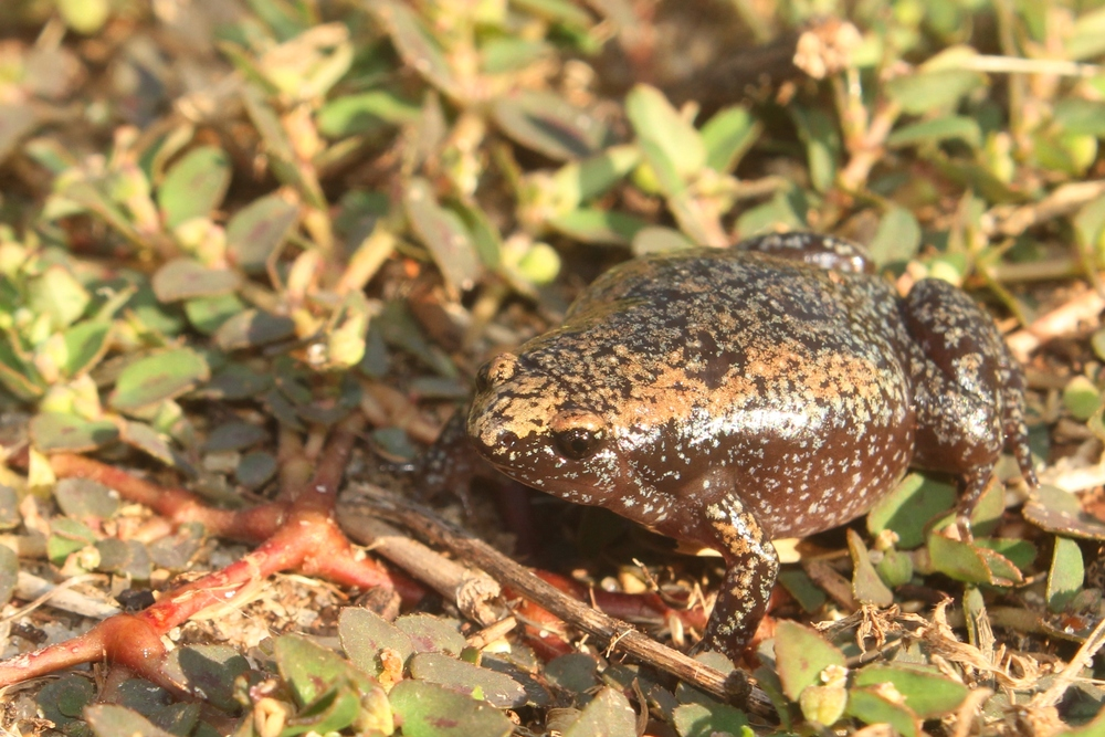Eastern Narrow-mouthed Toad - I love these little guys. They can be quite variable, and their calls are hysterical. I saw these in Florida this year.