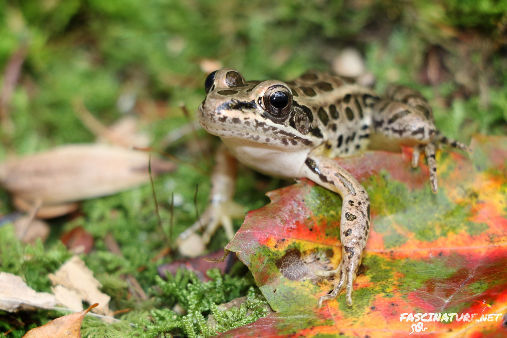 Pickerel Frog - These are one of the few frogs you can find in Winter by flipping rocks in springs and seeps. Just don't take them out of the water into sub-freezing air temperatures.