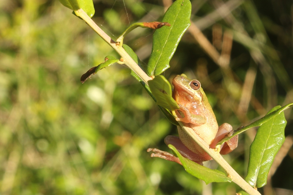 Squirrel Treefrog - I saw a few of these hopping around in North Carolina.