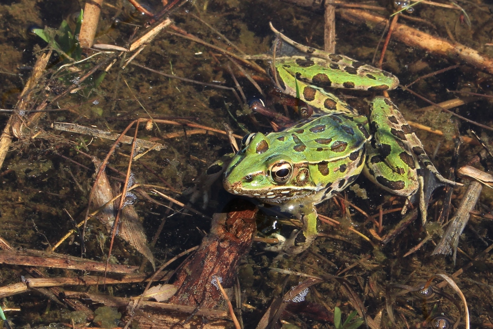 Southern Leopard Frog - I see these in the Pine Barrens more than any other frog. I also run into them in DE and MD. They can be variable in appearance. This is a nice bright green one.