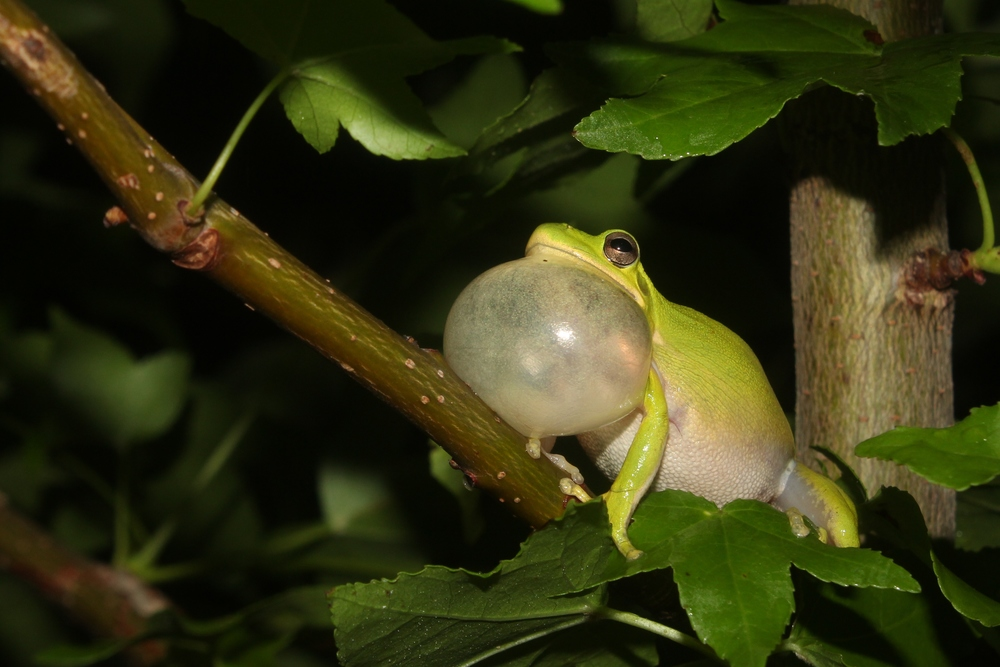 """Green Treefrog - This particular individual is from NJ, where they have recently been accepted by the state. Somehow they slipped under the radar by people who """"care"""" about herps. I'm sure the residents nearby knew about them for years. I've seen these in DE, NC, and FL as well this year."""