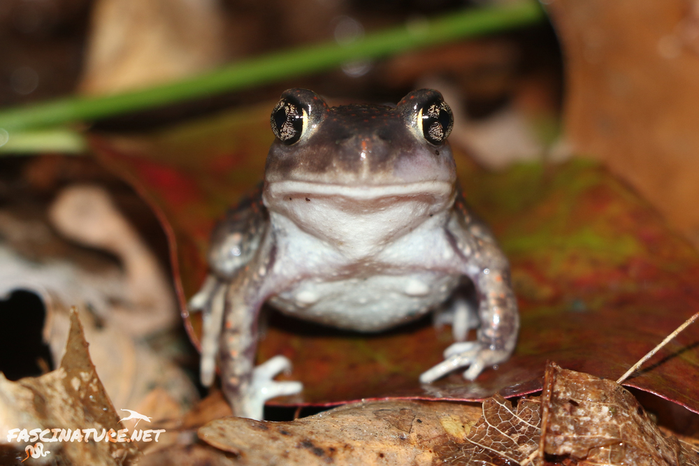 Eastern Spadefoot - Spadefoots are so goofy, what's not to love? I find these EVERYWHERE except, my home county where they are endangered but local. Go figure.