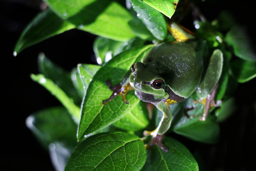 Pine Barrens Treefrog - Arguably our best looking frog in the entire US. Night shining for these is something I look forward to every year.
