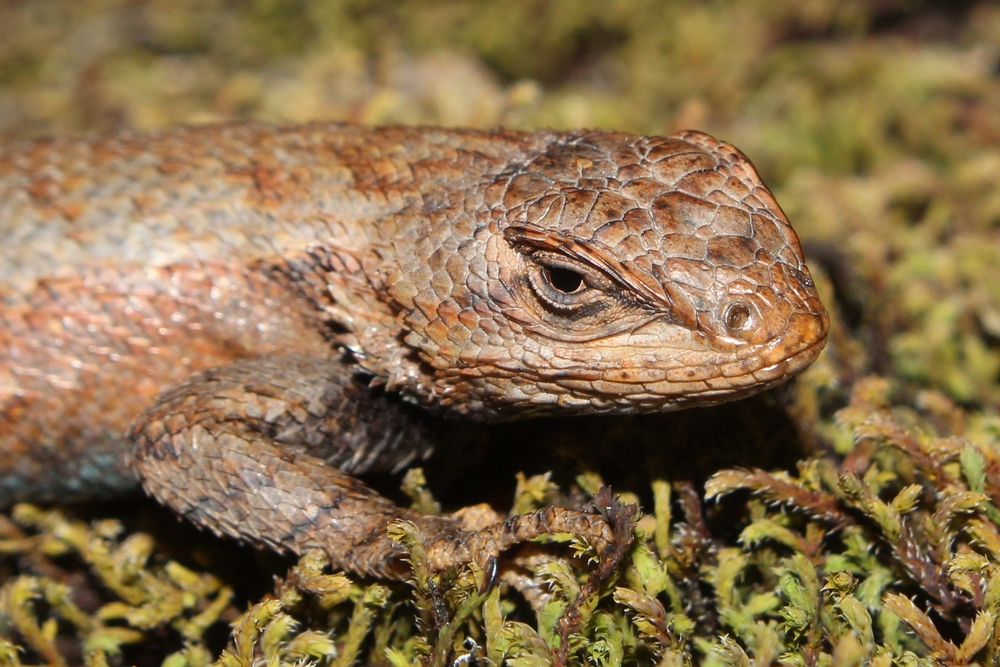 Eastern Fence Lizard - These are ubiquitous in the Pine Barrens.  I've only seen them a handful of times in PA, MD, and WV.