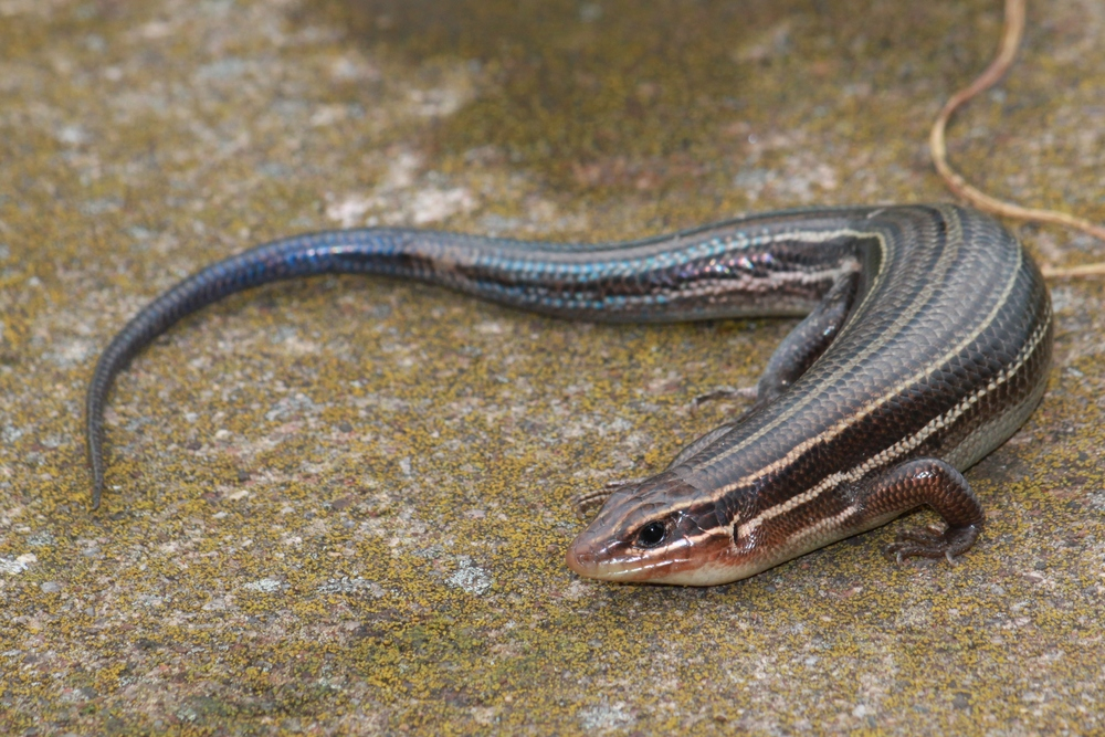 Broadhead Skink - Despite counting scales on the face of way too many skinks, I only found one broadhead in VA this year.