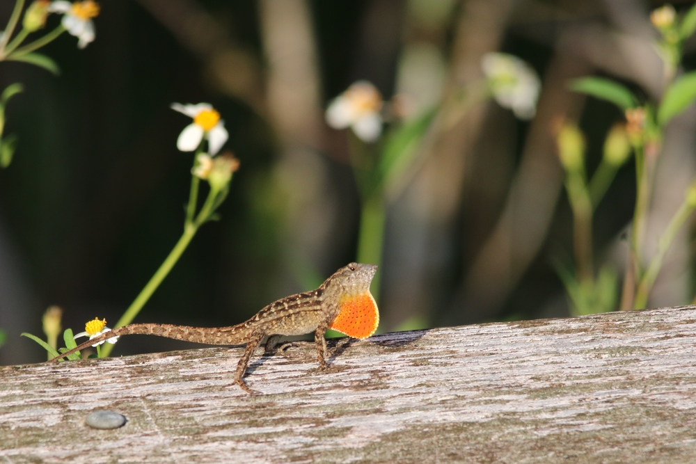 Brown Anole - These are basically wiping out native green anoles in areas.  Their numbers are astounding in spots.