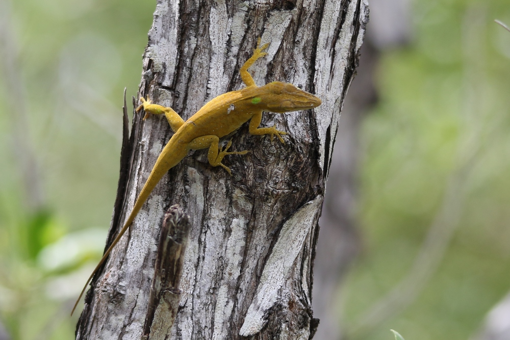 Green Anole - I somehow was able to locate about a dozen of these natives, among the thousands of brown anoles.  What a shame.
