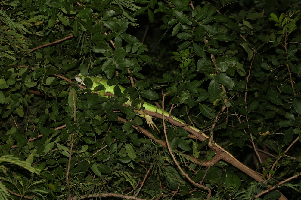 Green Iguana - I've seen tons of these in past trips, but only encountered one this time sleeping in a tree while night-shining some agricultural areas.