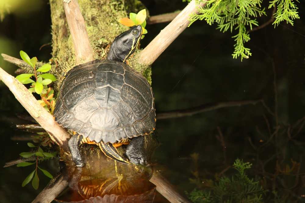 Yellow-bellied Slider - I see a ton of these in North Carolina.  Rarely, they will pop up among the Red-eareds in local ponds.  I'd rather see them where they belong.