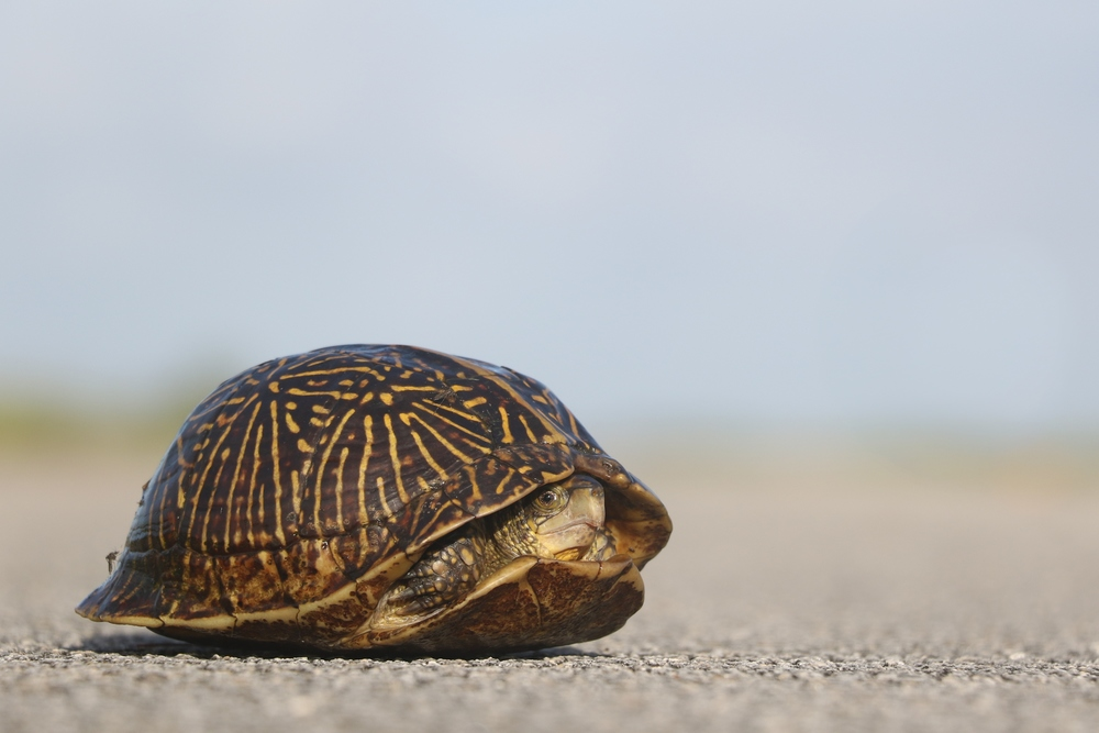 Florida Box Turtle - Every morning I would cruise a road in the ENP hoping for Eastern Diamondback Rattlesnakes.  My efforts didn't pay off, but I did find three Florida Boxies in the early morning hours.