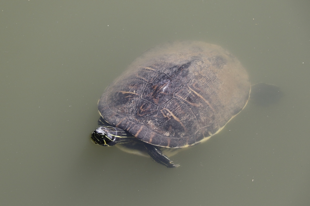 Peninsula Cooter - The last cooter of my review was also found during our trip to Southern Florida.