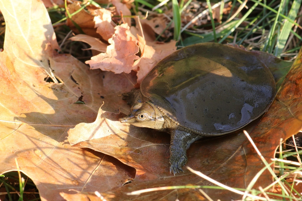 Eastern Spiny Softshell Turtle - We have a decent sized, introduced population in my home county.  I have seen them on rare occassions, sliding off of logs like big floppy trashcan lids.  A good friend clued me into where he was finding hatchlings.  Man, those little snorkel noses are cute!