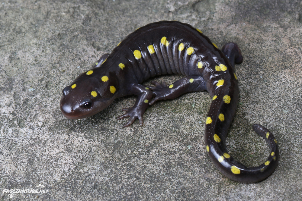 Spotted Salamander - I find these guys in Spring migration across multiple states, often by the hundreds.  This particular one was found recently and I got to shoot it with my new macro lens!