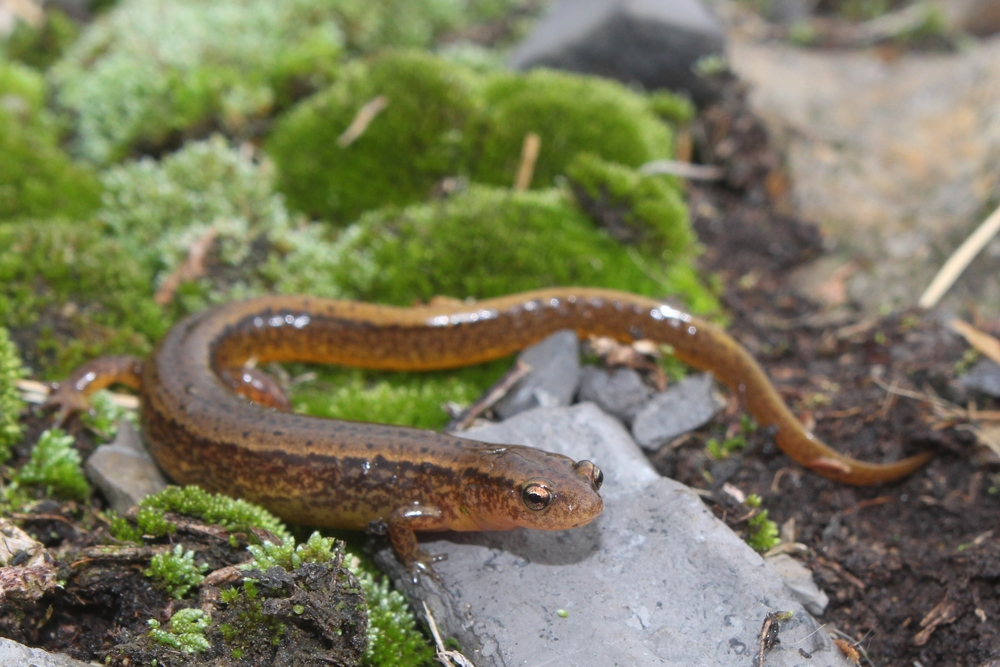 Northern Two-lined Salamander - These are ubiquitous steamside salamanders that I take for granted every year.  This year, I want phenomenal photos.  Good news is I can do it during the Winter.
