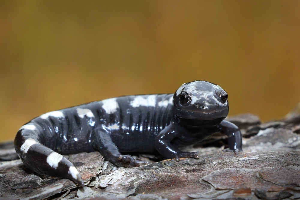 Marbled Salamander - I find these in multiple habitats in multiple states.  Our Fall breeders, these guys are always an exciting find in September.  I've been fascinated with them since the beginning.  The way they lay their eggs at the edge of vernal pools has been a favorite story of mine to non-herpers.  ...even if those non-herpers are rolling their eyes as soon as I shut up.
