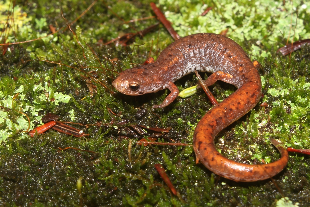 Four-toed Salamander - Our smallest salamander.  It could be their diminutive stature that makes them so appealing, I'm not sure.  They just are!
