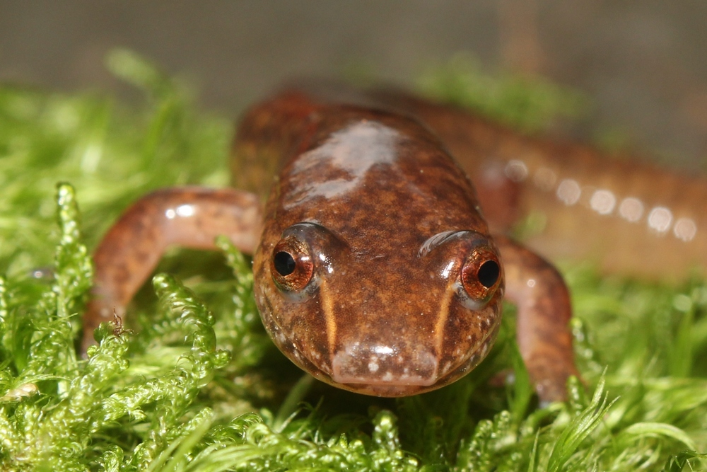 Northern Spring Salamander - I find these in the Poconos and deep into the montane regions of PA.  These are a neat find and always surprise me with their impressive size when I flip them.