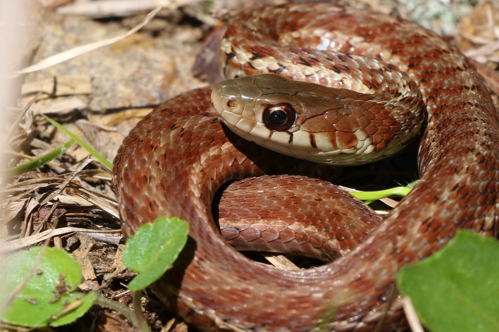 Eastern Gartersnake - This reddish individual was flipped by a friend on a group trip to the  Poconos.