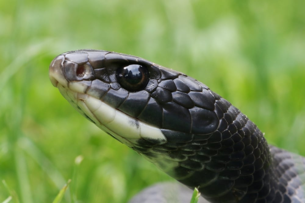 Northern Black Racer - These are very successful in all habitats in the areas I herp.