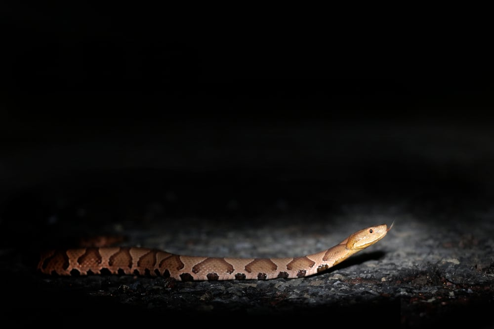 Northern Copperhead - One of my great triumphs of the year was successfully roadcruising one of these guys in my own county.  I was with Julie and pulled around for a quick snake and ran out of the car without a light or hook.  I yelled frantically at her as I didn't want to lose the snake without a voucher just in case this was the first successful AOR Copperhead in Bucks.  She got what I needed in time, and the rest is history... same snake posted below.