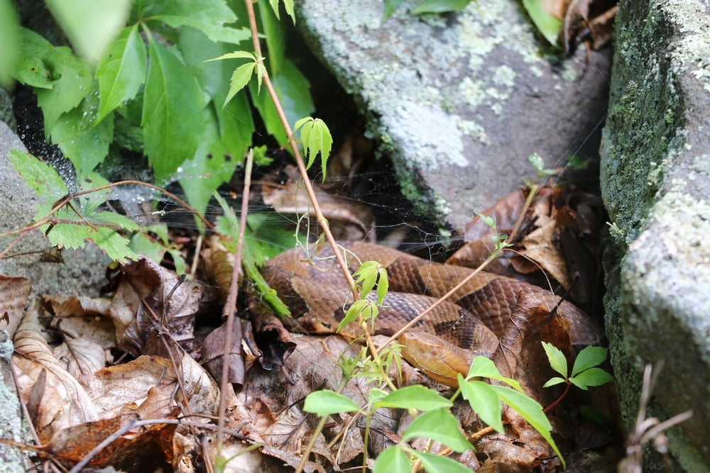 Northern Copperhead - From a group trip in Central PA.  We ended up seeing four of these and 14 Timbers on the same cut.  Not bad!