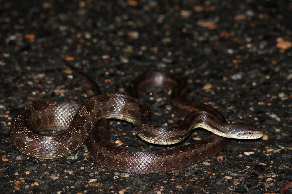 Black Ratsnake - This snake shot out in front of me after midnight in the pouring rain somewhere in Virginia while taking my daughter on her birthday trip.  Somehow, I managed to miss it.
