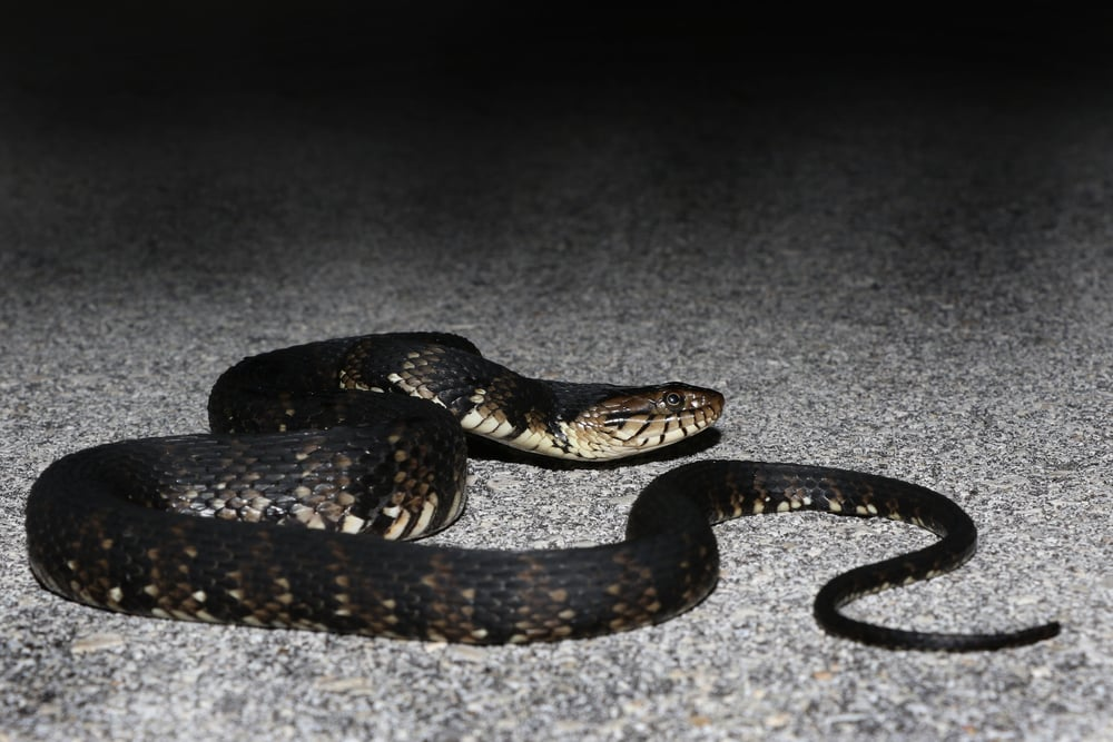 Florida Watersnake - We saw many of these.  Some were better looking than others.  This was a drab adult.