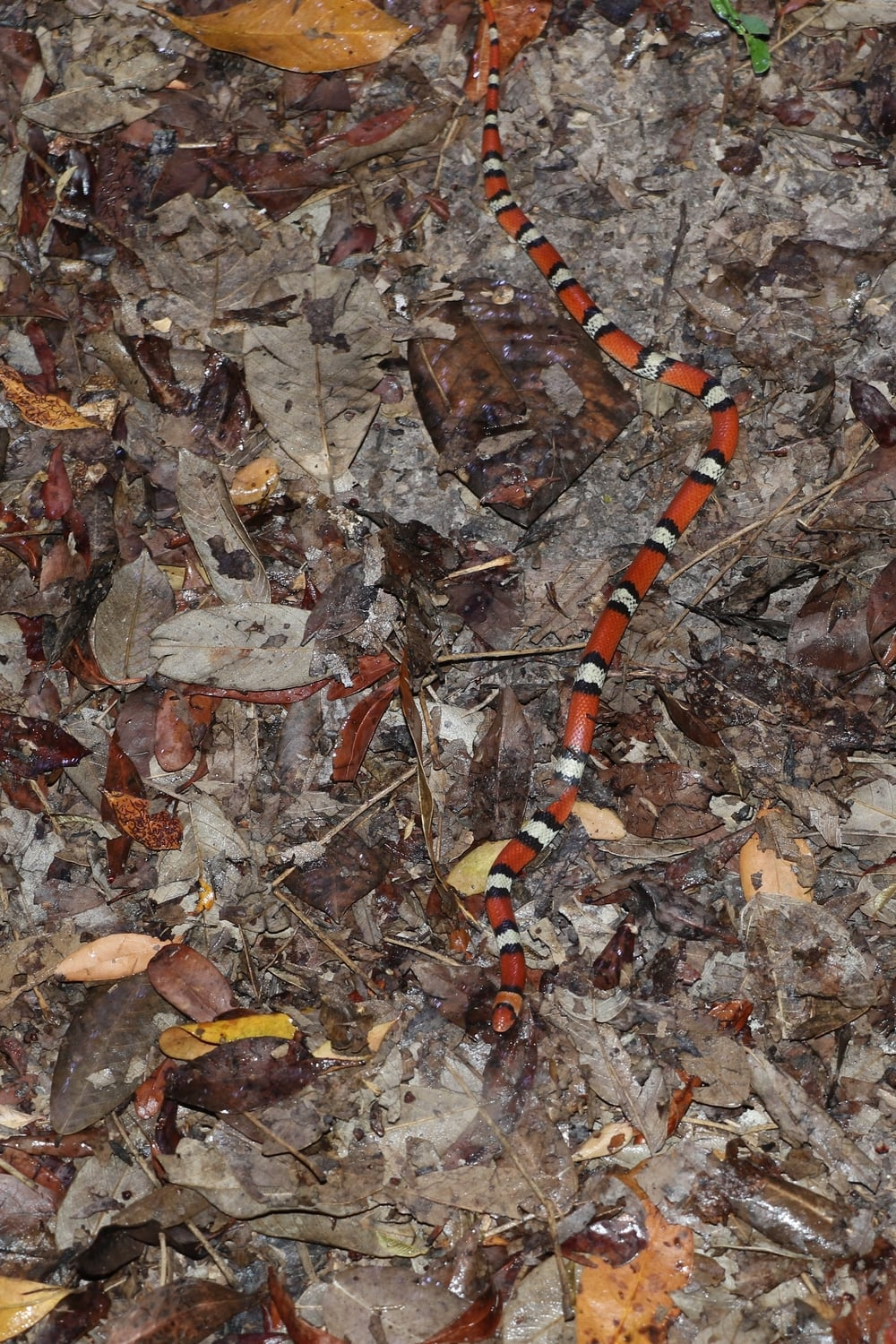 Florida Scarletsnake - One of the coolest experiences of the trip was night-hiking these in a mosquito-infested trail with a good friend.  Shining and seeing a flash of color among the vegetation is an adrenaline rush like no other.