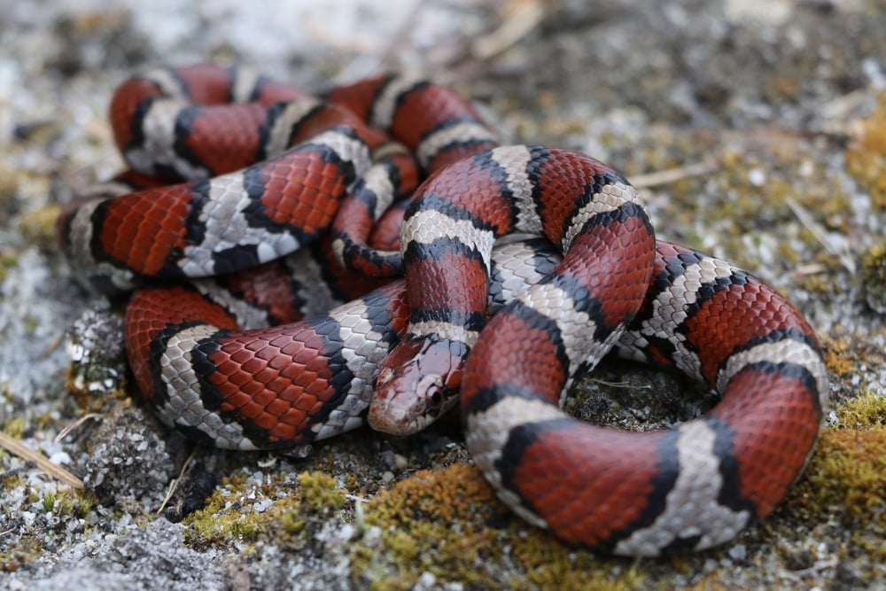 Coastal Plains Milksnake - My good friend hung out with this until I could catch up and photograph it.  This is a classic looking coastal in my opinion.