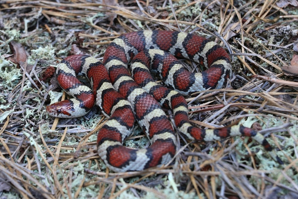 Coastal Plains Milksnake - From the same group trip... this awesome snake was found in a small shingle pile.