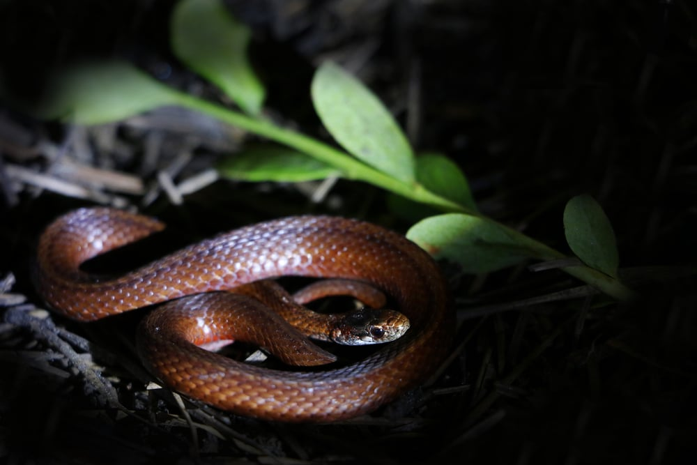 Northern Red-bellied Snake - I added this to my list of snakes night cruised in the barrens.