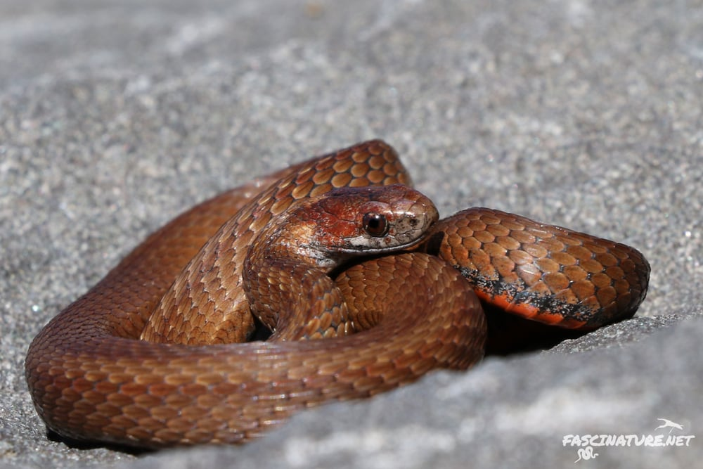 Northern Red-bellied Snake - While they are an uncommon find in South Jersey, in the Poconos they can be plentiful.