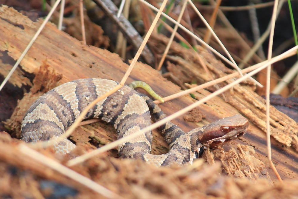 Eastern Cottonmouth - This good looking juvenile is showing off its caudal lore (yellow tail).