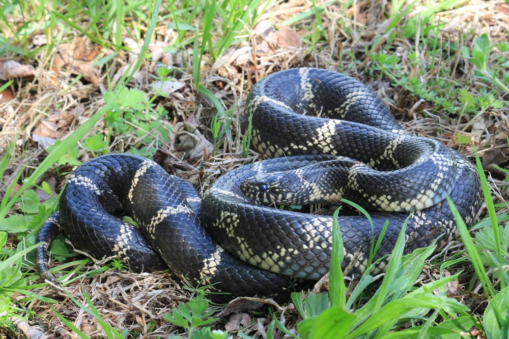 Eastern Kingsnake - This thing was MASSIVE and while we didn't find it, I was there for it being returned into the wild after being used in an educational program for a few days.