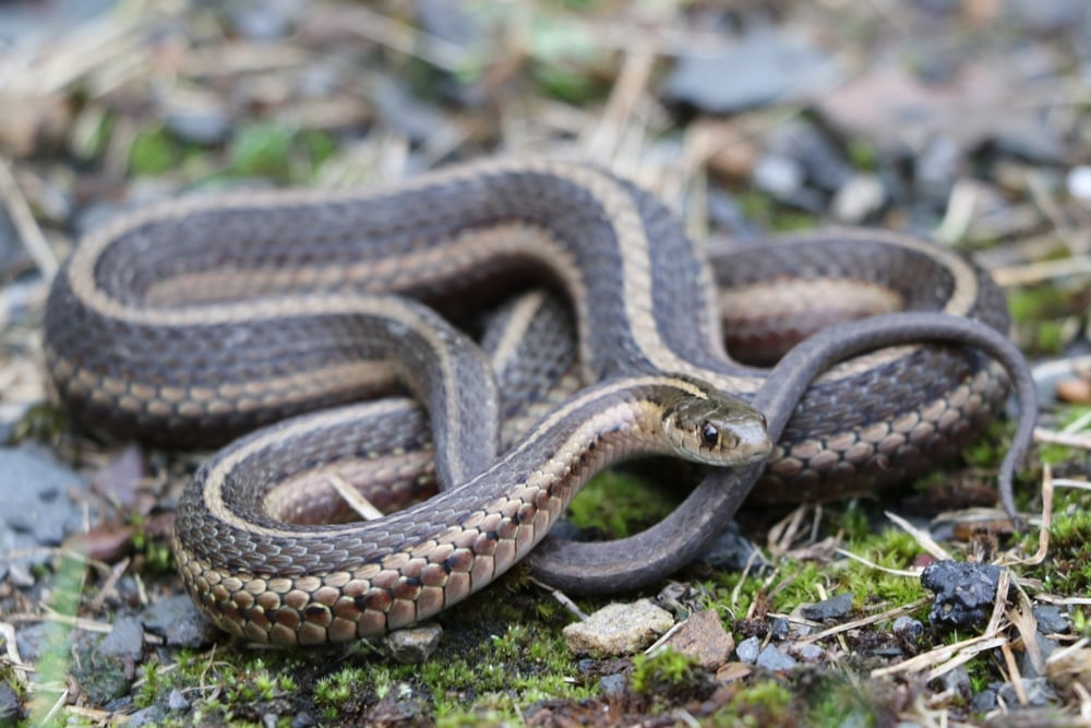 Short-headed Gartersnake - This was one of those snakes I was just never in range for. It seemed another year would go by and with PA lifers being a hot commodity, I decided to get up at 2:00 one day and flip for them at sunrise before meeting some friends back in central PA at a more reasonable 9:00 AM.  It was brutal but worth it for my only PA lifer of the year.