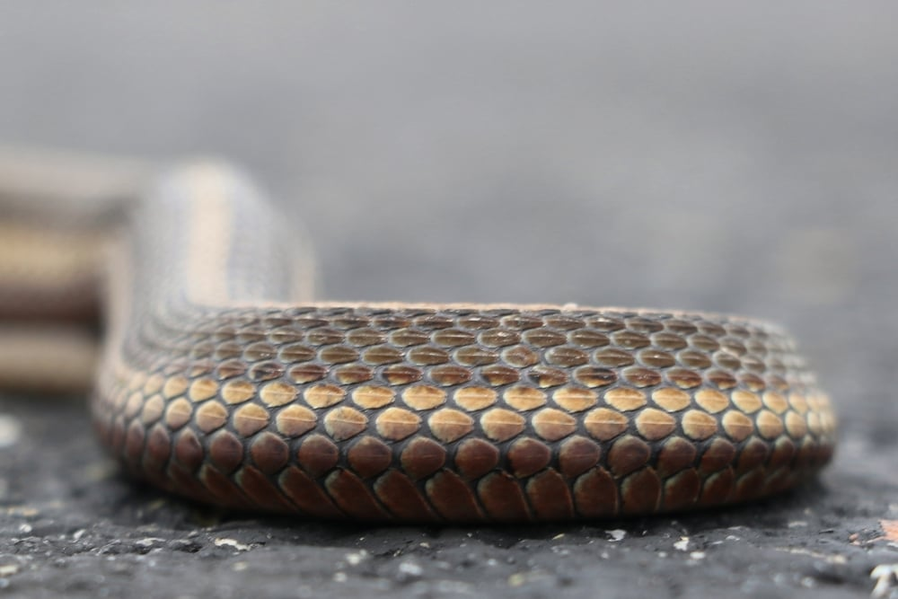 Short-headed Gartersnake - I loved their clean lines and ate up a new species that's range is almost all in Western PA.