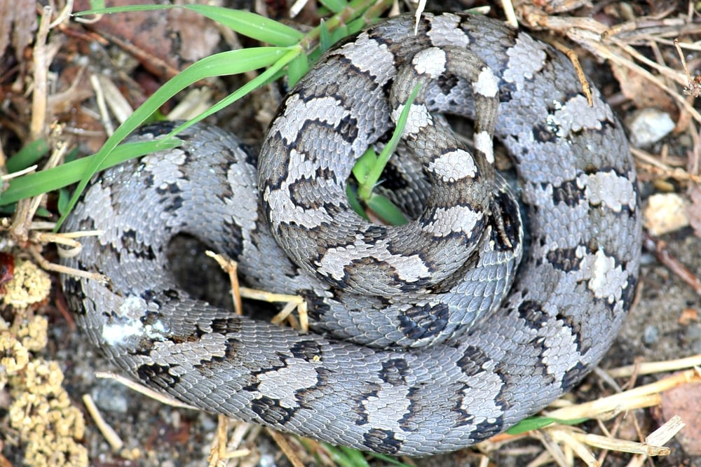 Eastern Hog-nosed Snake - This thing was downright sick to look at!  Found on Lily's trip to VA/NC.