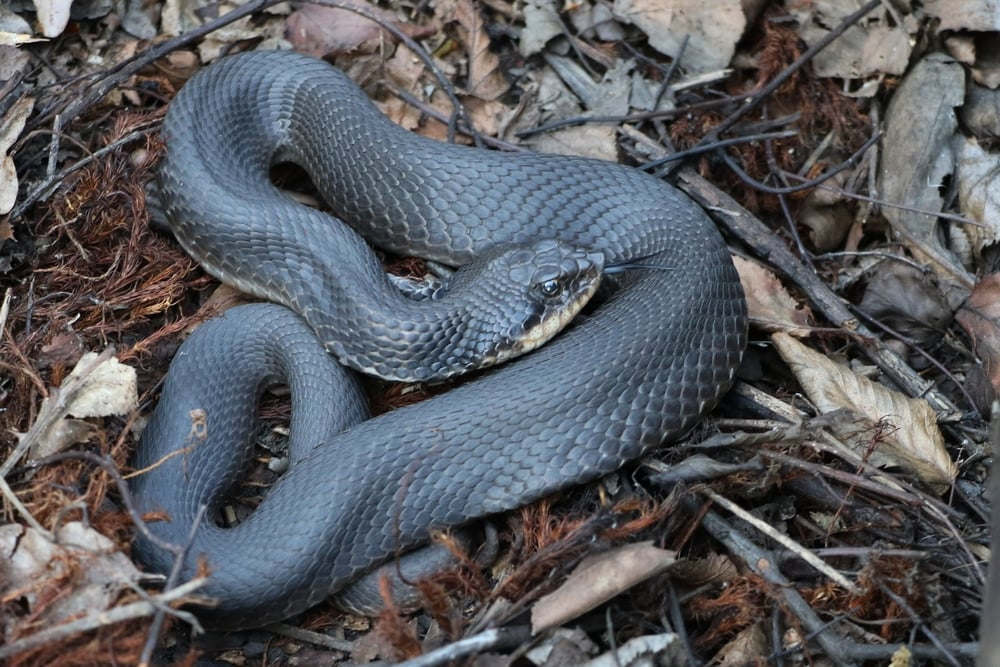 Eastern Hog-nosed Snake - This silver beauty was flipped under a railroad tie on the same trip in the evening.