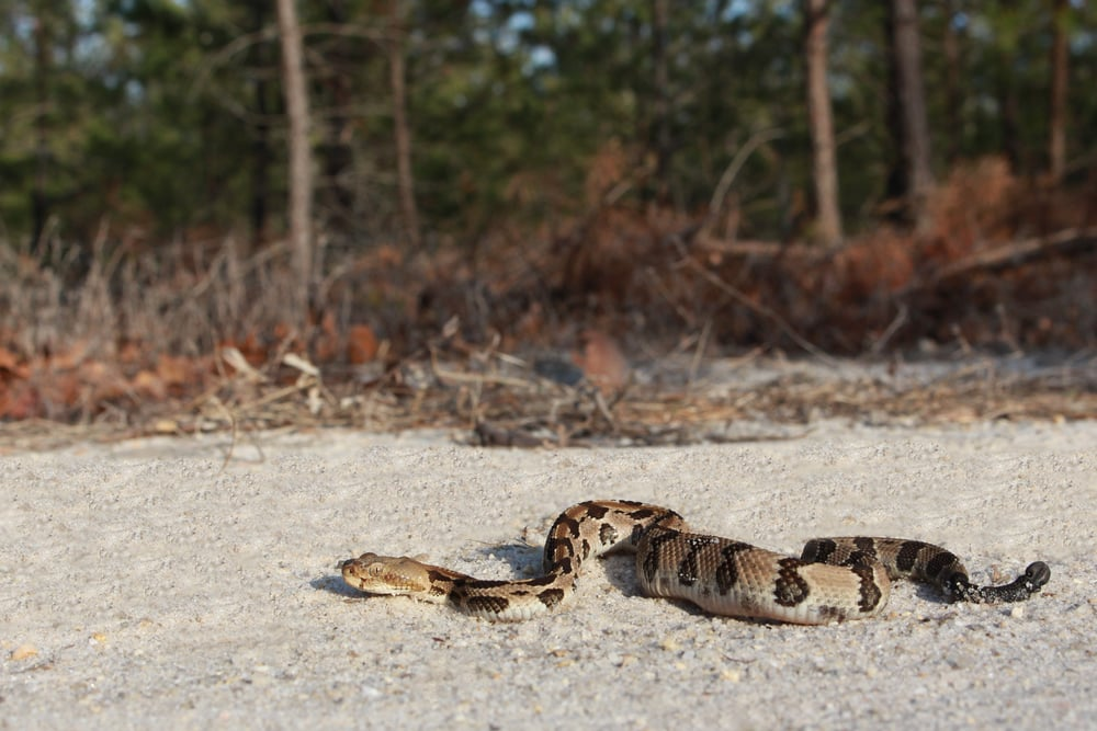 Timber Rattlesnake - My first timber of the year was surprisingly on the crawl on April 13th.   Very strange.